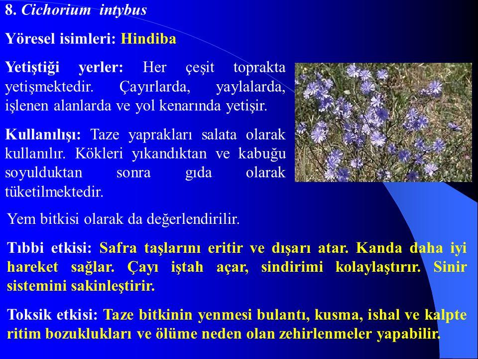 8. Cichorium intybus Yöresel isimleri: Hindiba.