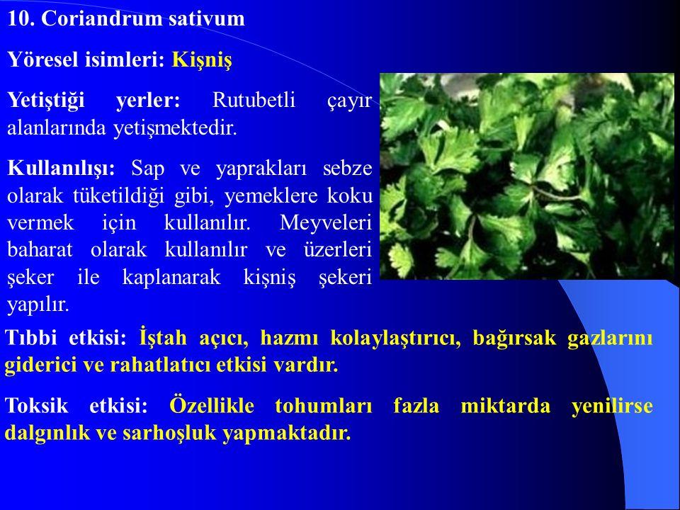 10. Coriandrum sativum Yöresel isimleri: Kişniş. Yetiştiği yerler: Rutubetli çayır alanlarında yetişmektedir.