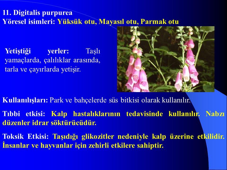 11. Digitalis purpurea Yöresel isimleri: Yüksük otu, Mayasıl otu, Parmak otu.