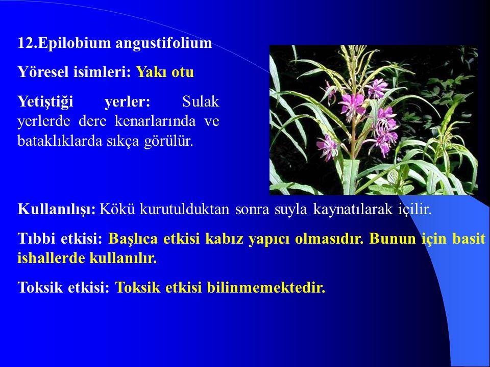 12.Epilobium angustifolium. Yöresel isimleri: Yakı otu. Yetiştiği yerler: Sulak yerlerde dere kenarlarında ve bataklıklarda sıkça görülür.