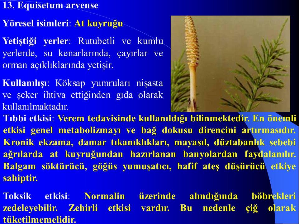 13. Equisetum arvense Yöresel isimleri: At kuyruğu.