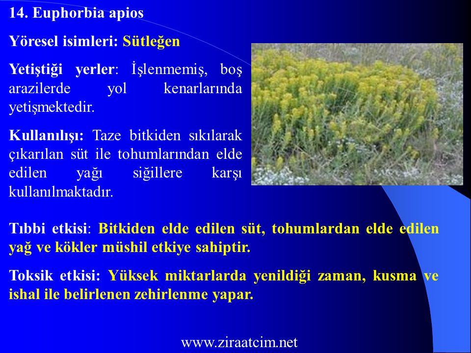 14. Euphorbia apios Yöresel isimleri: Sütleğen. Yetiştiği yerler: İşlenmemiş, boş arazilerde yol kenarlarında yetişmektedir.