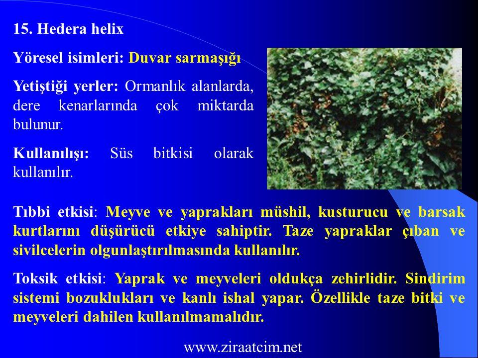 15. Hedera helix Yöresel isimleri: Duvar sarmaşığı. Yetiştiği yerler: Ormanlık alanlarda, dere kenarlarında çok miktarda bulunur.