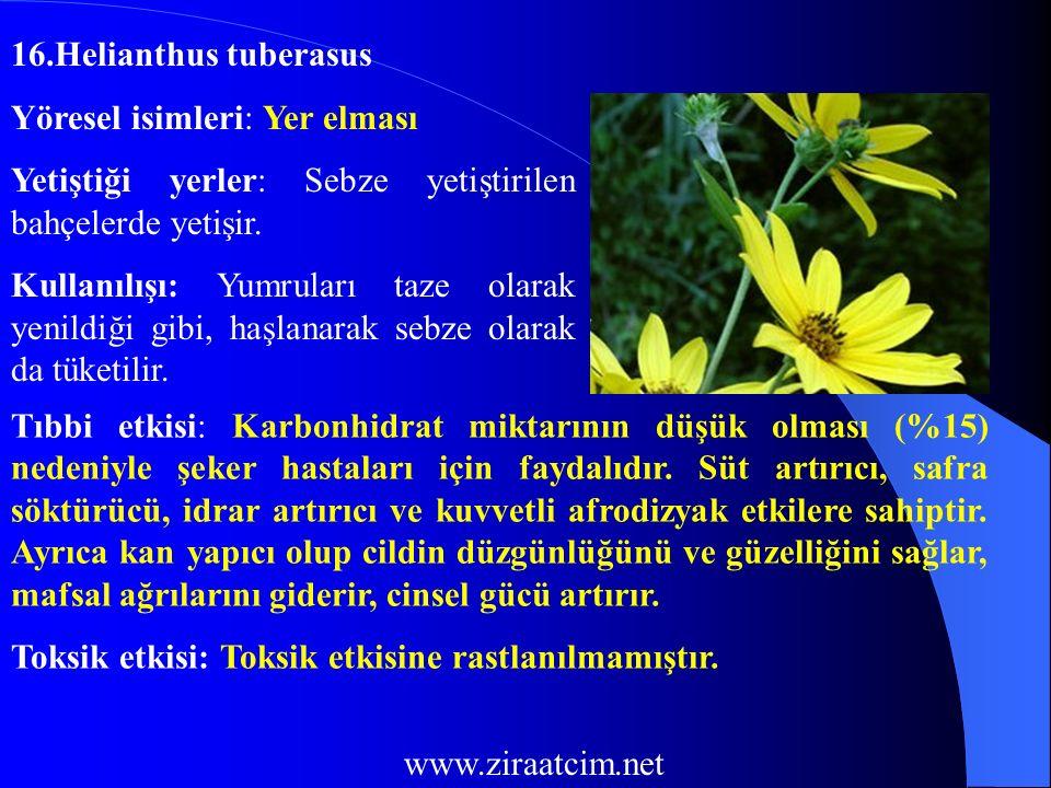 16.Helianthus tuberasus Yöresel isimleri: Yer elması. Yetiştiği yerler: Sebze yetiştirilen bahçelerde yetişir.