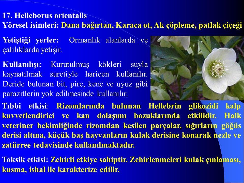 17. Helleborus orientalis
