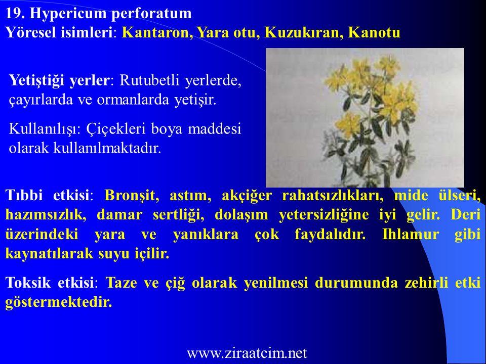 19. Hypericum perforatum Yöresel isimleri: Kantaron, Yara otu, Kuzukıran, Kanotu.