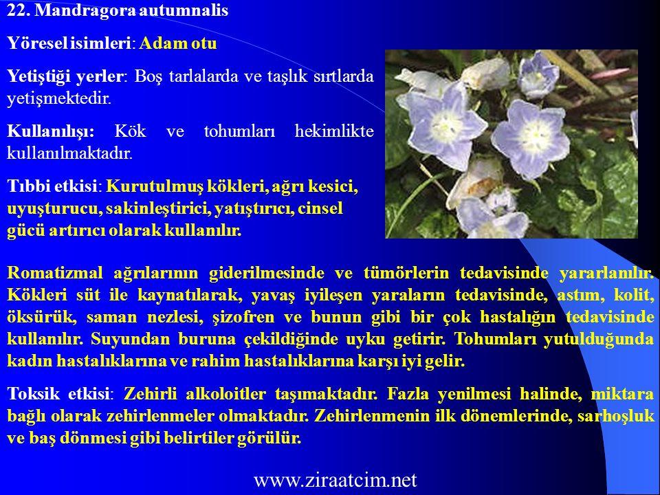www.ziraatcim.net 22. Mandragora autumnalis Yöresel isimleri: Adam otu