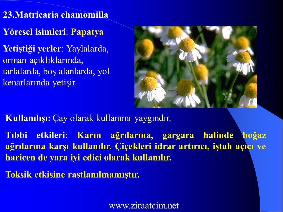 23.Matricaria chamomilla