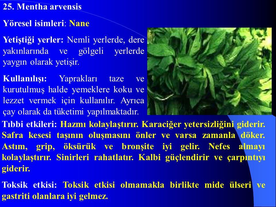 25. Mentha arvensis Yöresel isimleri: Nane. Yetiştiği yerler: Nemli yerlerde, dere yakınlarında ve gölgeli yerlerde yaygın olarak yetişir.