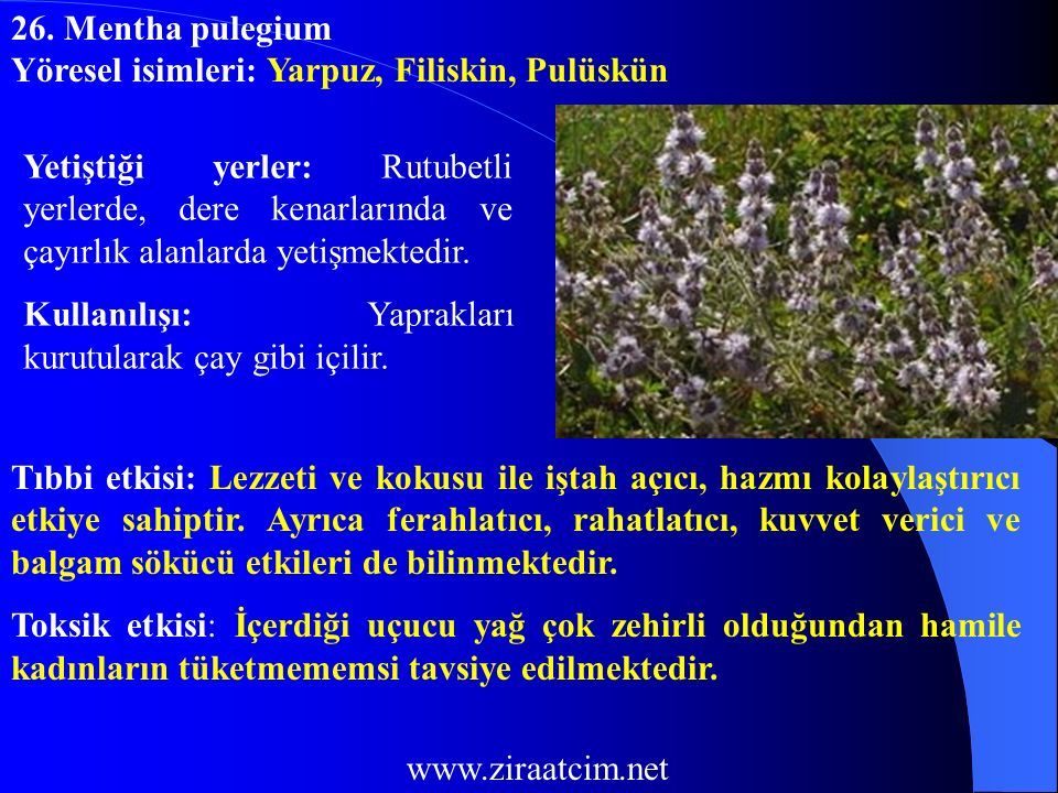 26. Mentha pulegium Yöresel isimleri: Yarpuz, Filiskin, Pulüskün.