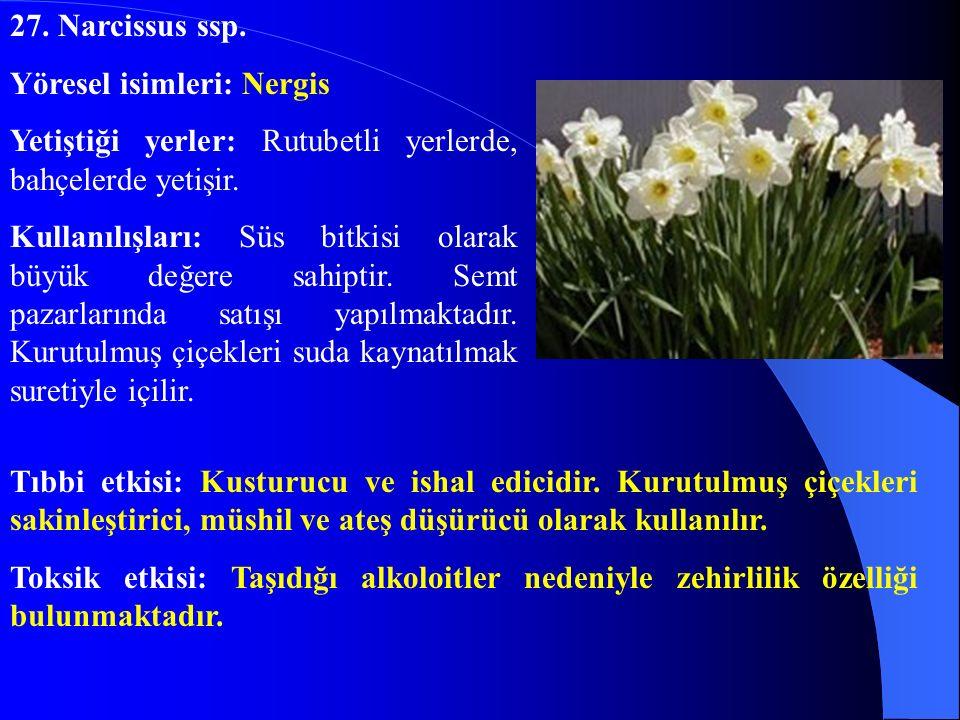 27. Narcissus ssp. Yöresel isimleri: Nergis. Yetiştiği yerler: Rutubetli yerlerde, bahçelerde yetişir.