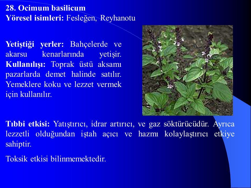 28. Ocimum basilicum Yöresel isimleri: Fesleğen, Reyhanotu.