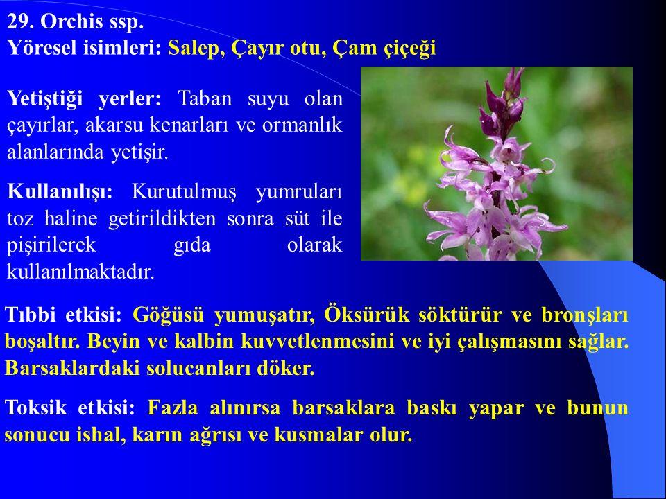 29. Orchis ssp. Yöresel isimleri: Salep, Çayır otu, Çam çiçeği.