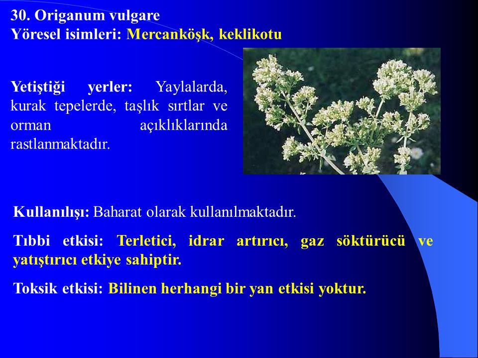30. Origanum vulgare Yöresel isimleri: Mercanköşk, keklikotu.