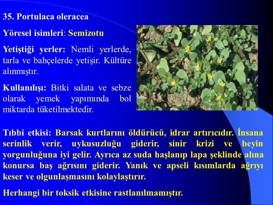 35. Portulaca oleracea Yöresel isimleri: Semizotu. Yetiştiği yerler: Nemli yerlerde, tarla ve bahçelerde yetişir. Kültüre alınmıştır.
