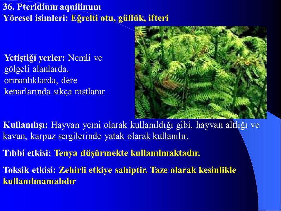 36. Pteridium aquilinum Yöresel isimleri: Eğrelti otu, güllük, ifteri.