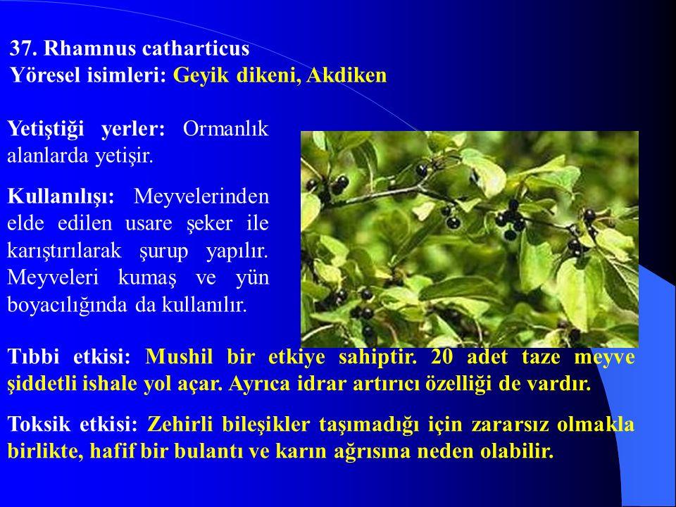37. Rhamnus catharticus Yöresel isimleri: Geyik dikeni, Akdiken. Yetiştiği yerler: Ormanlık alanlarda yetişir.