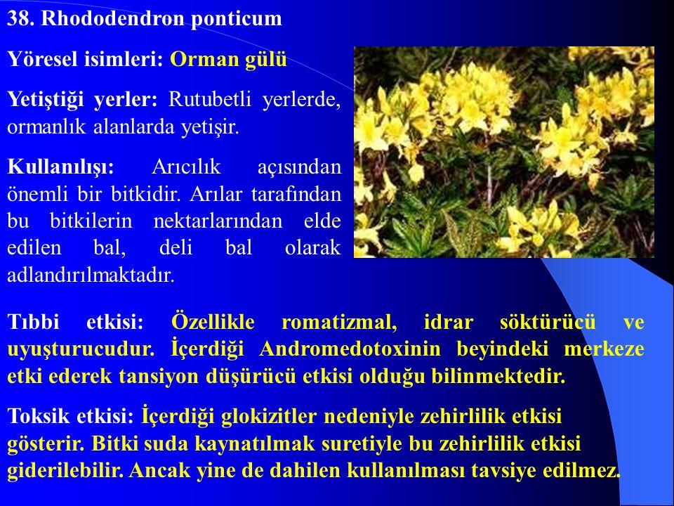38. Rhododendron ponticum