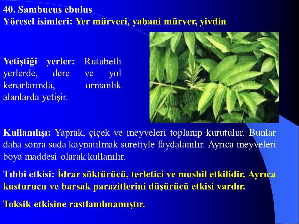40. Sambucus ebulus Yöresel isimleri: Yer mürveri, yabani mürver, yivdin.