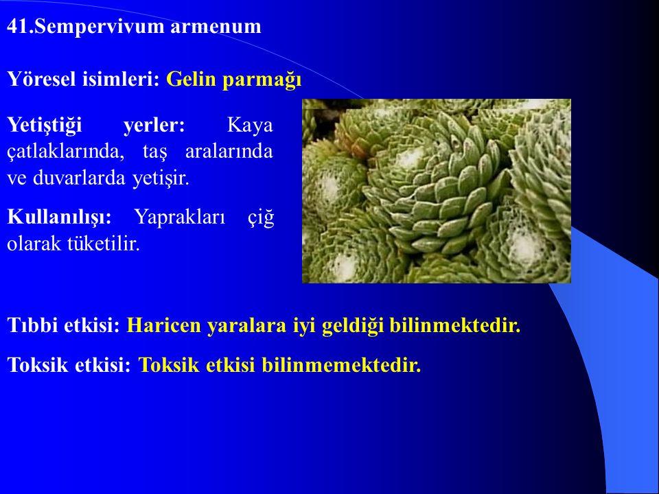 41.Sempervivum armenum Yöresel isimleri: Gelin parmağı. Yetiştiği yerler: Kaya çatlaklarında, taş aralarında ve duvarlarda yetişir.