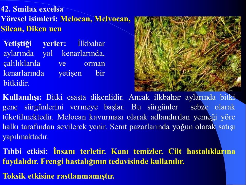 42. Smilax excelsa Yöresel isimleri: Melocan, Melvocan, Silcan, Diken ucu.