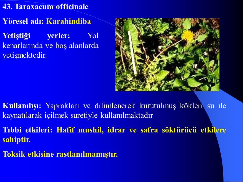 43. Taraxacum officinale Yöresel adı: Karahindiba. Yetiştiği yerler: Yol kenarlarında ve boş alanlarda yetişmektedir.