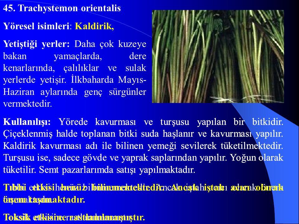 45. Trachystemon orientalis