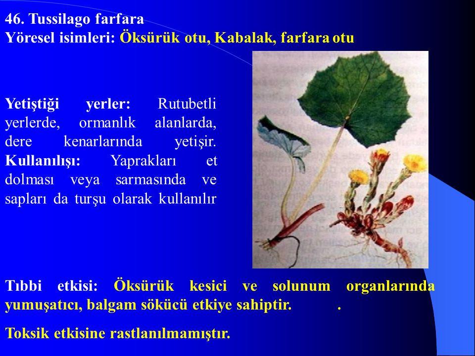 46. Tussilago farfara Yöresel isimleri: Öksürük otu, Kabalak, farfara otu.
