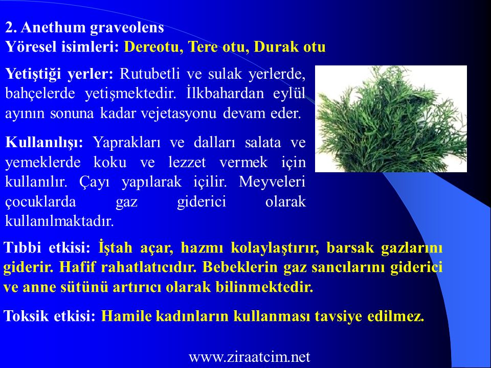 2. Anethum graveolens Yöresel isimleri: Dereotu, Tere otu, Durak otu.