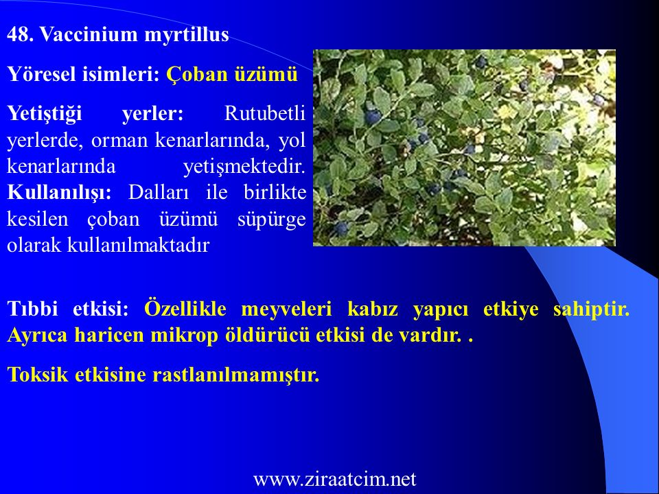 48. Vaccinium myrtillus Yöresel isimleri: Çoban üzümü.