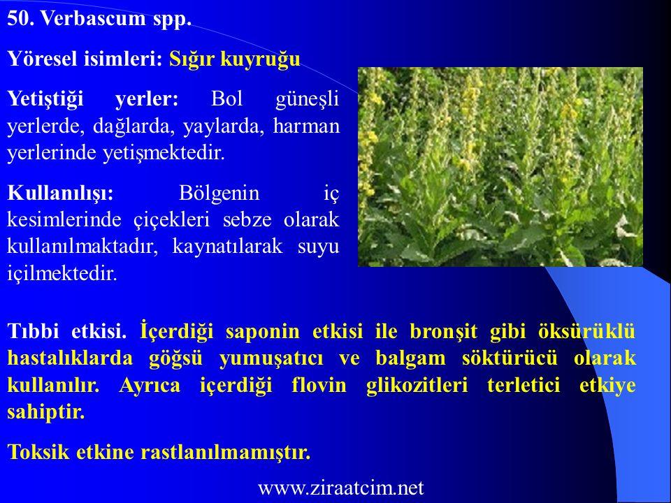 50. Verbascum spp. Yöresel isimleri: Sığır kuyruğu. Yetiştiği yerler: Bol güneşli yerlerde, dağlarda, yaylarda, harman yerlerinde yetişmektedir.