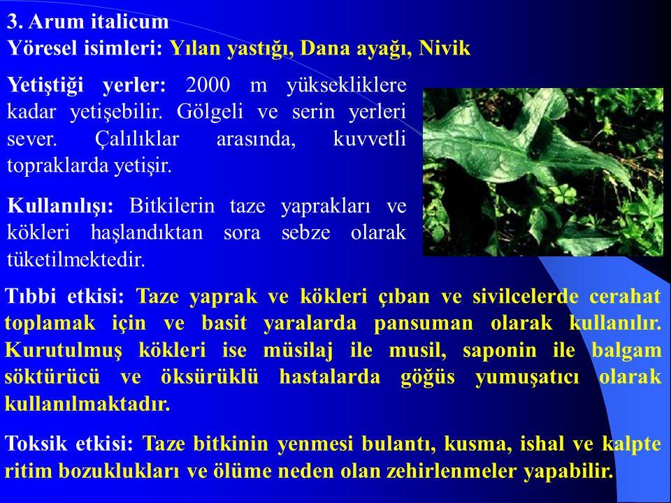 3. Arum italicum Yöresel isimleri: Yılan yastığı, Dana ayağı, Nivik.