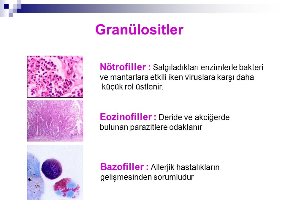 Granülositler Nötrofiller : Salgıladıkları enzimlerle bakteri ve mantarlara etkili iken viruslara karşı daha.