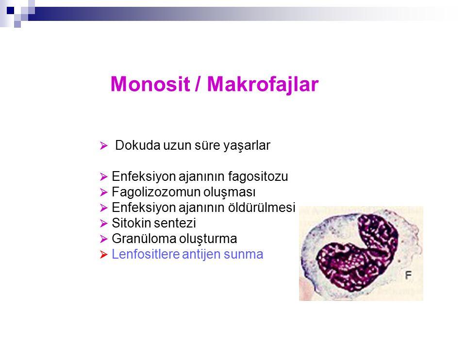 Monosit / Makrofajlar  Dokuda uzun süre yaşarlar