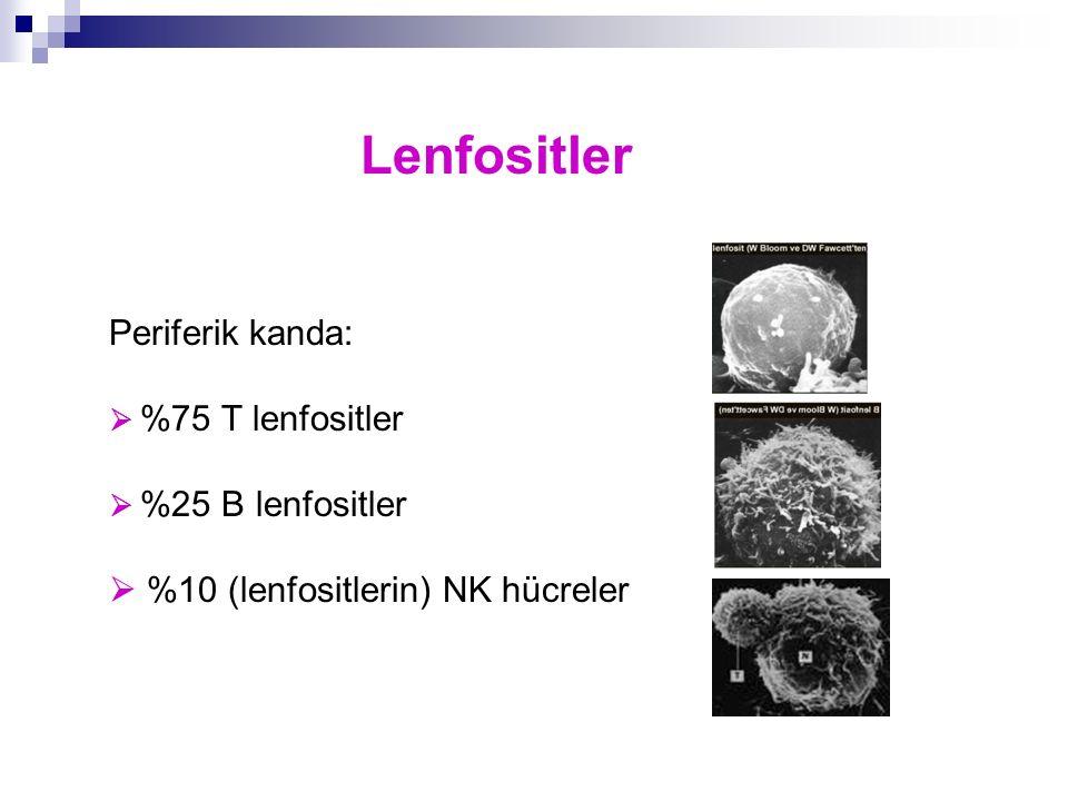 Lenfositler Periferik kanda:  %10 (lenfositlerin) NK hücreler