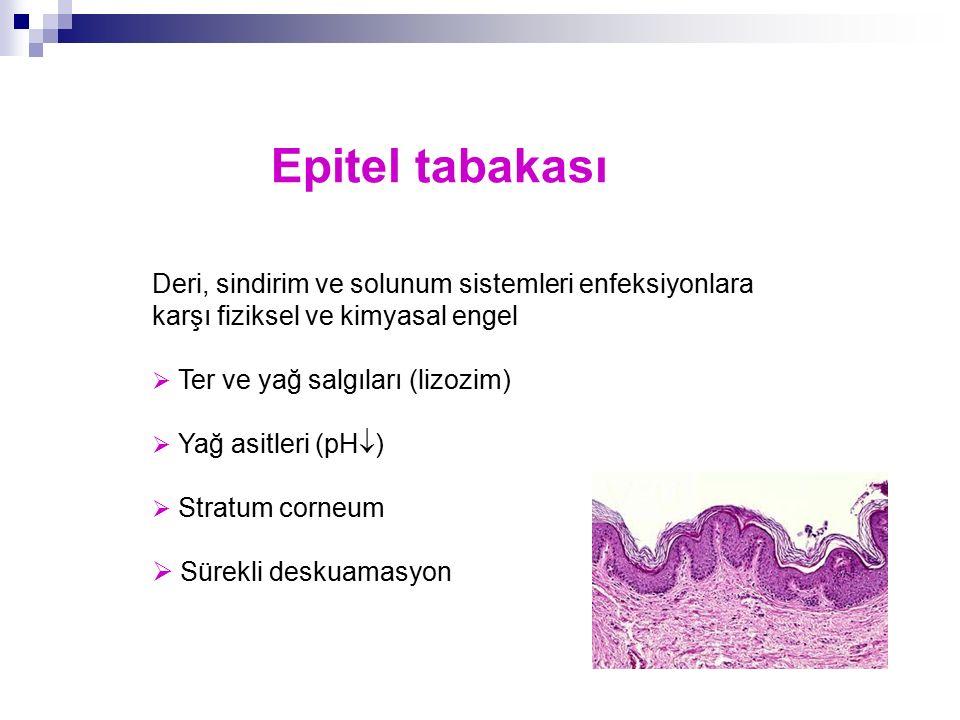 Epitel tabakası Deri, sindirim ve solunum sistemleri enfeksiyonlara