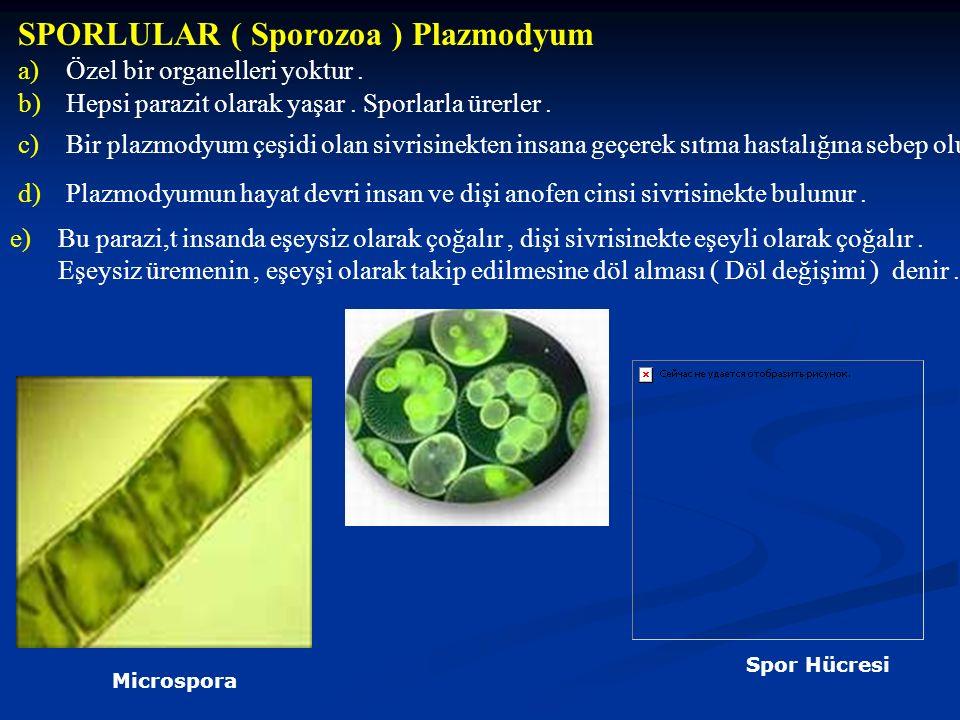 SPORLULAR ( Sporozoa ) Plazmodyum