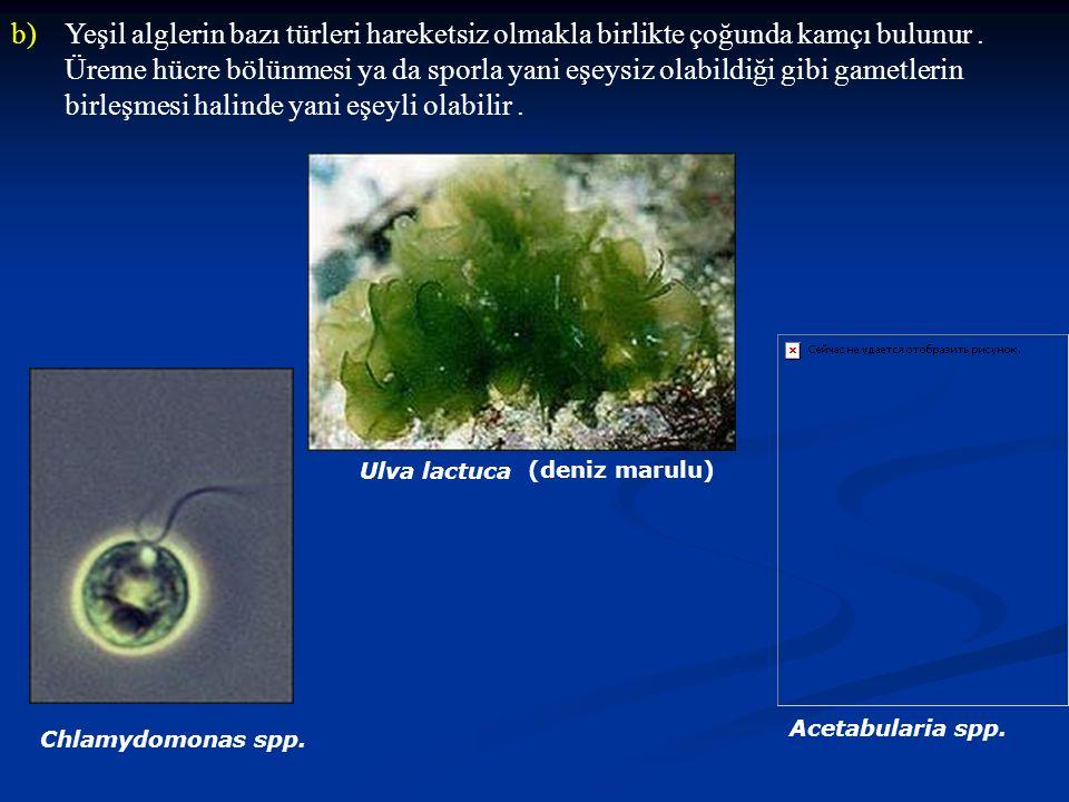 Yeşil alglerin bazı türleri hareketsiz olmakla birlikte çoğunda kamçı bulunur . Üreme hücre bölünmesi ya da sporla yani eşeysiz olabildiği gibi gametlerin birleşmesi halinde yani eşeyli olabilir .