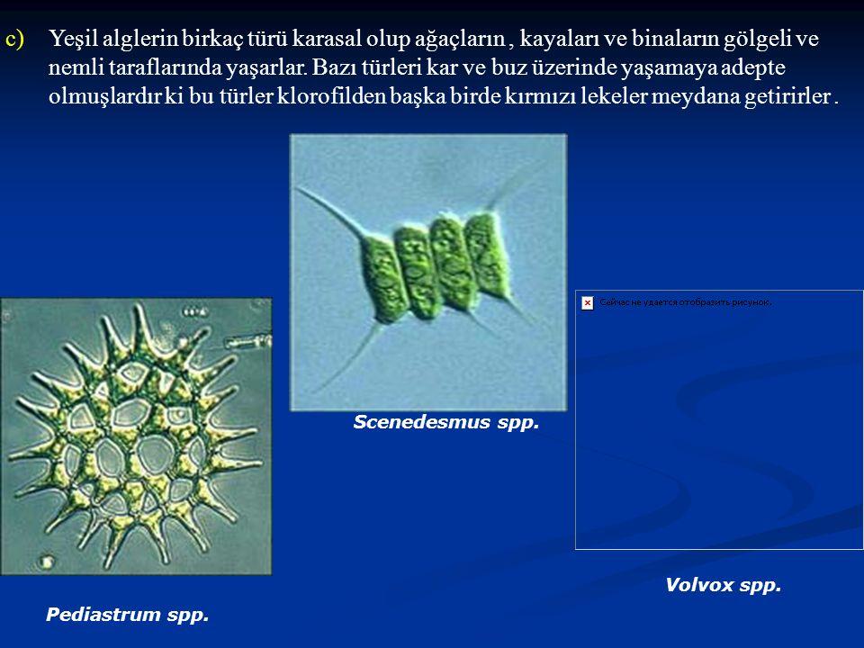 Yeşil alglerin birkaç türü karasal olup ağaçların , kayaları ve binaların gölgeli ve nemli taraflarında yaşarlar. Bazı türleri kar ve buz üzerinde yaşamaya adepte olmuşlardır ki bu türler klorofilden başka birde kırmızı lekeler meydana getirirler .