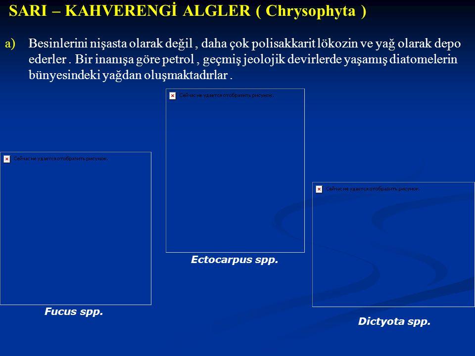 SARI – KAHVERENGİ ALGLER ( Chrysophyta )
