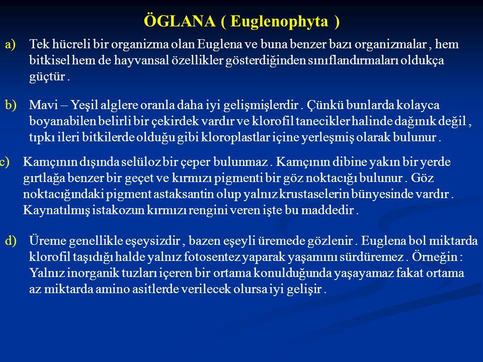 ÖGLANA ( Euglenophyta )