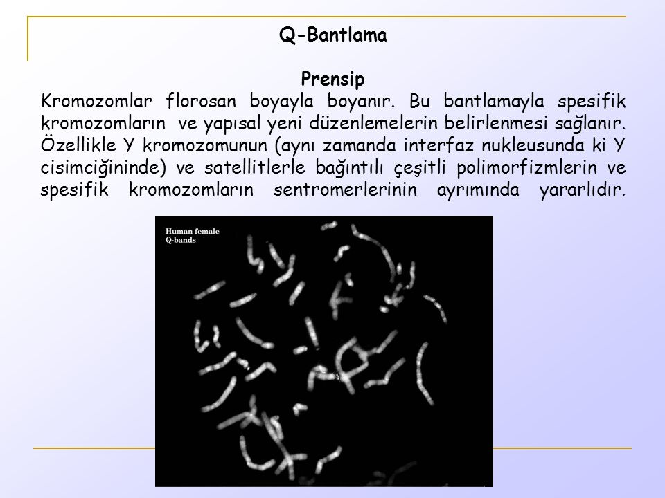 Q-Bantlama Prensip Kromozomlar florosan boyayla boyanır