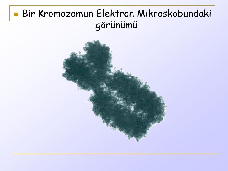 Bir Kromozomun Elektron Mikroskobundaki görünümü