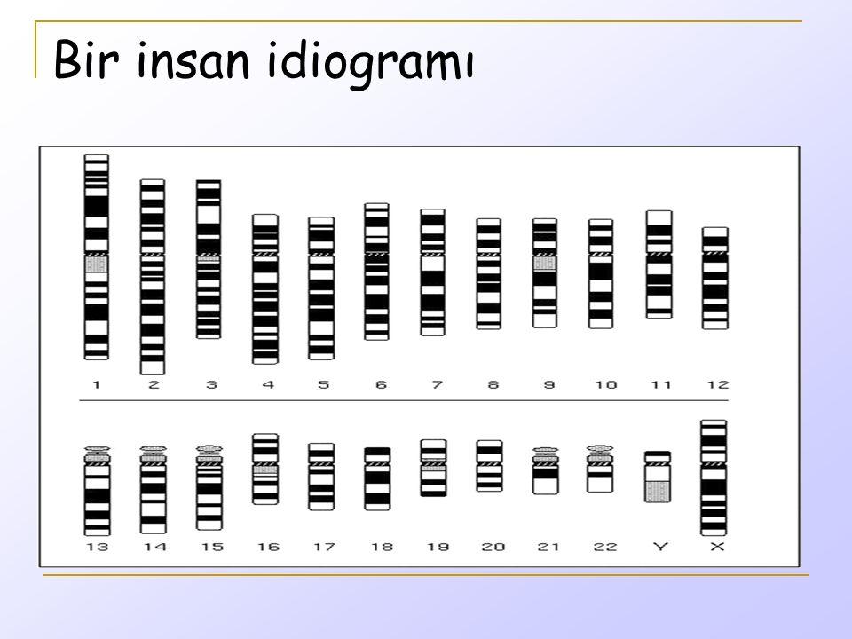 Bir insan idiogramı