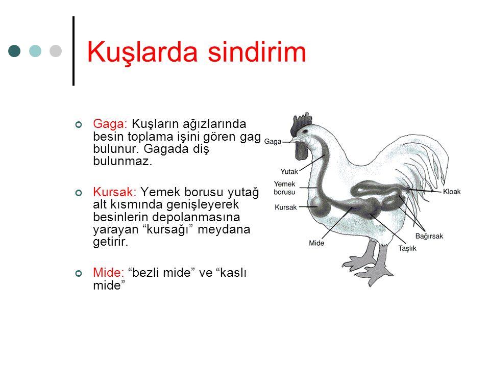 Kuşlarda sindirim Gaga: Kuşların ağızlarında besin toplama işini gören gaga bulunur. Gagada diş bulunmaz.