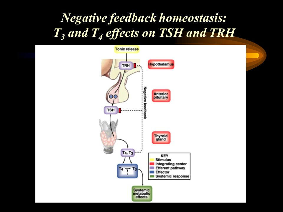 Negative feedback homeostasis: T3 and T4 effects on TSH and TRH