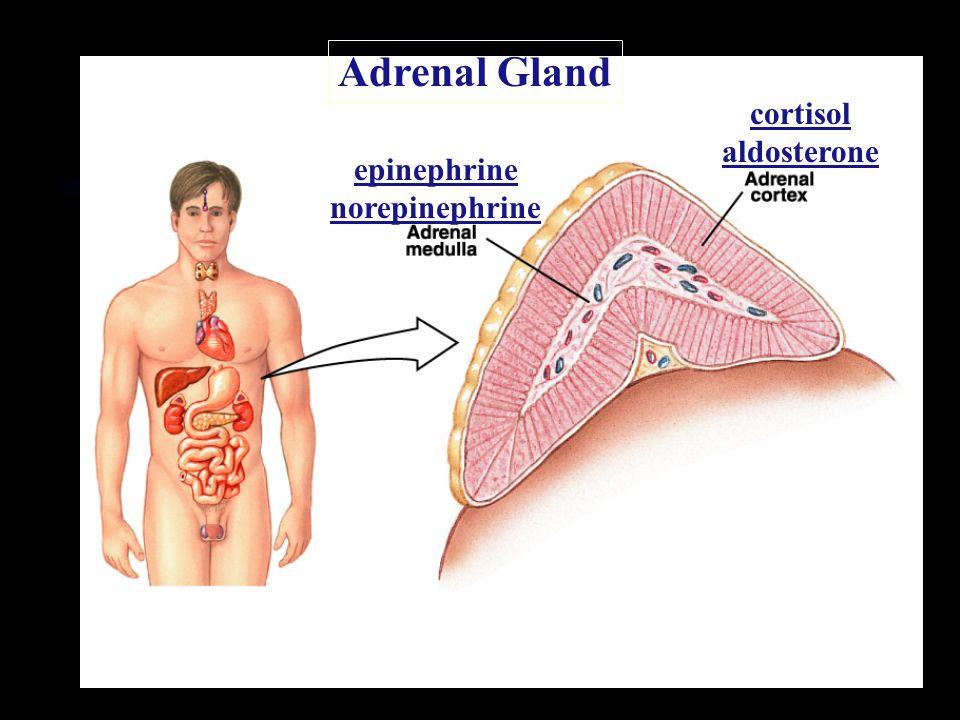 Adrenal Gland cortisol aldosterone epinephrine norepinephrine