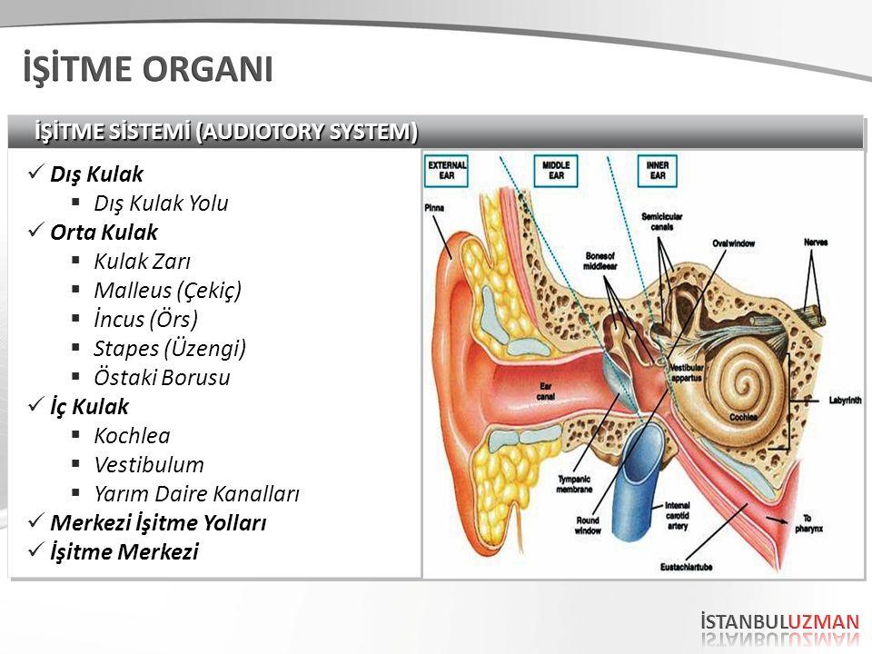 İŞİTME ORGANI İŞİTME SİSTEMİ (AUDIOTORY SYSTEM) Dış Kulak