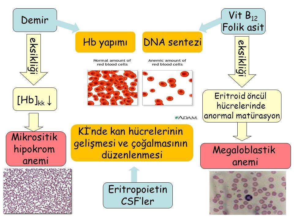 Kİ'nde kan hücrelerinin gelişmesi ve çoğalmasının düzenlenmesi