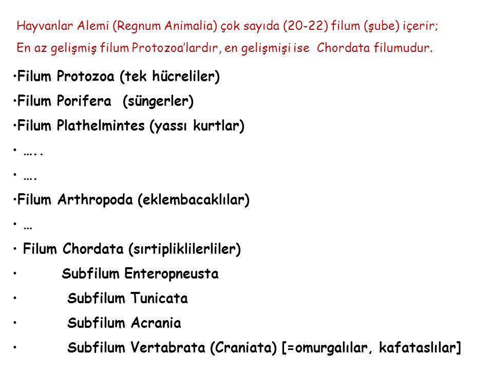Filum Protozoa (tek hücreliler) Filum Porifera (süngerler)